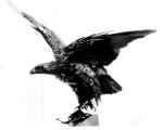 eagle1001